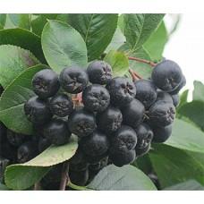 Рябина черноплодная (Арония черноплодная)