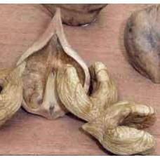 Орех сердцевидный. Из семян с Санкт-Петербурга