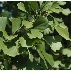 Гинкго Билоба. Из семян с Краснодарского края