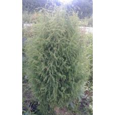 Можжевельник обыкновенный (Juniperus communis subsp. communis var. communis)