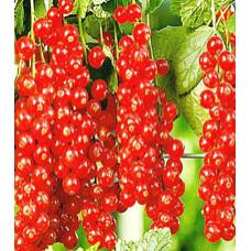 Смородина красная Руднеус